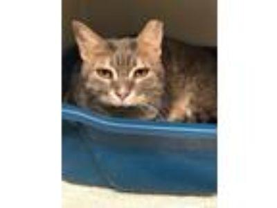 Adopt Tippy & Peekaboo & Mary Lou a Brown Tabby American Shorthair / Mixed cat