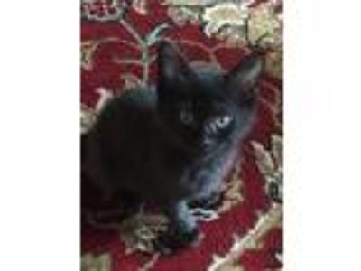 Adopt Comet a Domestic Short Hair