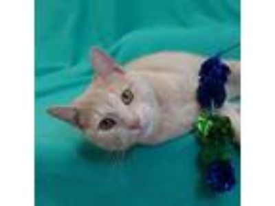 Adopt BUSTER a Tan or Fawn Domestic Shorthair / Domestic Shorthair / Mixed cat