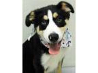 Adopt Weldon a Border Collie, Alaskan Malamute