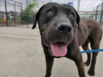 Adopt RUTH* a Brown/Chocolate Labrador Retriever / Rottweiler / Mixed dog in