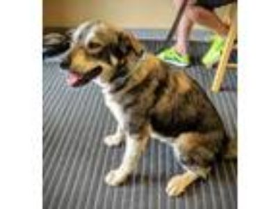 Adopt Charlie a Husky, Mixed Breed