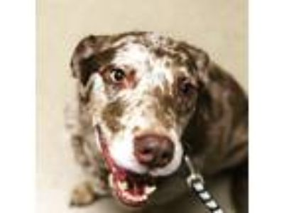 Adopt Java a Brown/Chocolate - with White Catahoula Leopard Dog / Mixed dog in