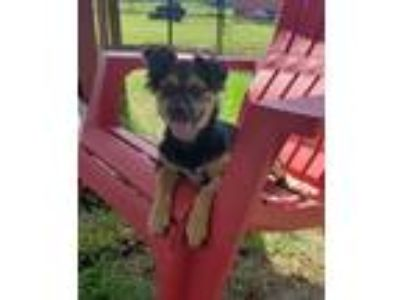 Adopt Sophia a Black - with Brown, Red, Golden, Orange or Chestnut Terrier