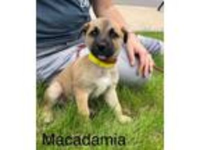 Adopt Macadamia a Boxer, German Shepherd Dog