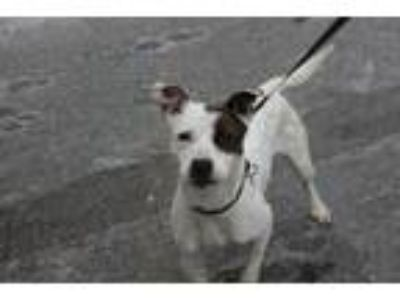 Adopt Finch a Cattle Dog, Jack Russell Terrier