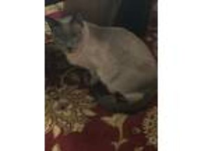 Adopt Madison a Gray or Blue Russian Blue / Mixed cat in Cordova, TN (22278012)