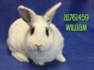 Adopt WILLIAM a Bunny Rabbit