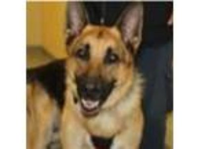 Adopt Zeus a German Shepherd Dog / Mixed dog in Madison, NJ (25650172)