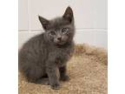 Adopt a Gray or Blue Russian Blue / Mixed (short coat) cat in Grovetown