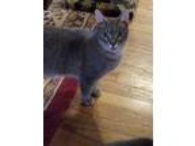 Adopt Barbosa a Domestic Short Hair, Tiger