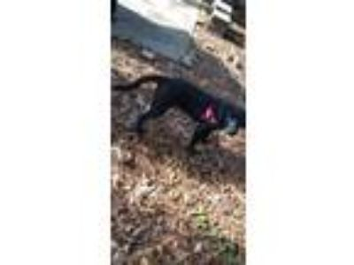 Adopt Ellie a Black - with White Labrador Retriever / Beagle dog in Peachtree