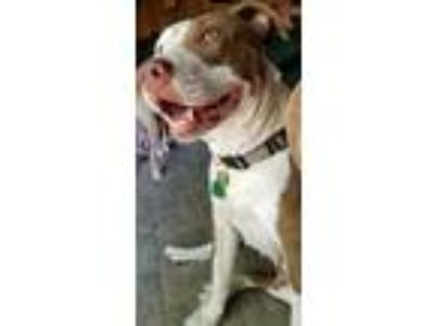 Adopt Izzee a Tan/Yellow/Fawn American Pit Bull Terrier / Mixed dog in Normal