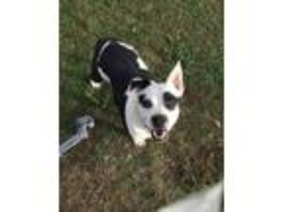 Adopt Patches a White - with Black Pit Bull Terrier / Mixed dog in Benton