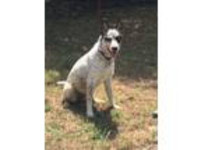 Adopt Halsell a Australian Cattle Dog / Blue Heeler