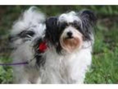 Adopt Logo a White Shih Tzu / Mixed dog in Pekin, IL (25650119)