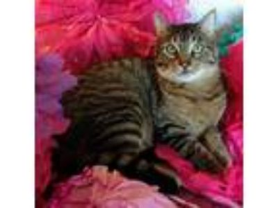 Adopt Bingley a Brown Tabby American Shorthair / Mixed cat in Poplar Bluff