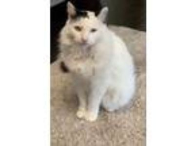 Adopt Kingston a Maine Coon, Turkish Angora