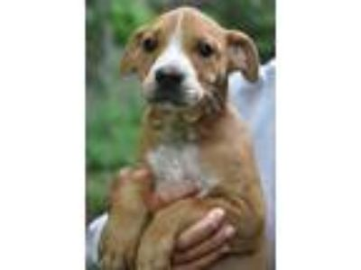 Adopt Sammy-At Wagsmore 7/20! www.lhar.dog to apply a Pit Bull Terrier, Hound
