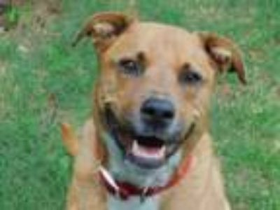 Adopt Kate a Labrador Retriever, Boxer