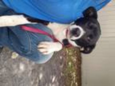 Adopt Majesty a Black - with White Border Collie / Mixed dog in Oviedo