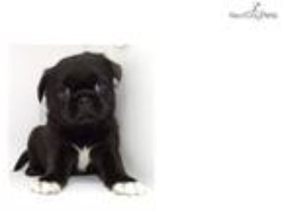 Pug Puppy - Super Tiny One