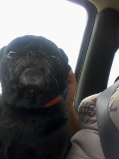 for sale a pug female