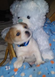 Puppy mixed breed jack russel
