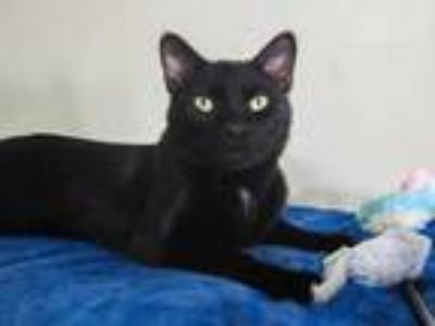 Adopt Victor (lap cat) a Black (Mostly) Domestic Shorthair (short coat) cat in