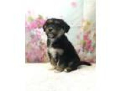 Adopt SCARLETT a Collie, Mixed Breed