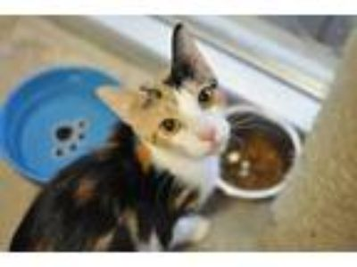 Adopt Kellie a White Domestic Shorthair / Domestic Shorthair / Mixed cat in