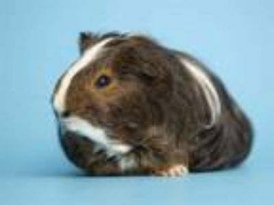 Adopt BROWNIE a Brown or Chocolate Guinea Pig / Mixed small animal in Phoenix
