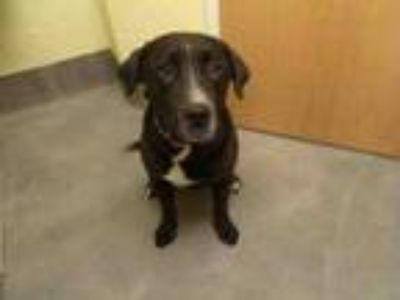 Adopt NOAH a Labrador Retriever, Mixed Breed