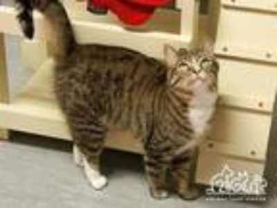Adopt OLLIE a Brown Tabby Domestic Shorthair / Mixed (short coat) cat in Irvine