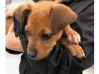 Adopt Lincoln a Boxer, Black Mouth Cur