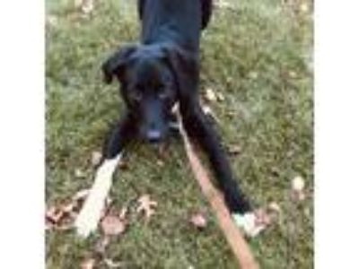 Adopt Finn a Black Border Collie / Great Pyrenees / Mixed dog in Morton Grove