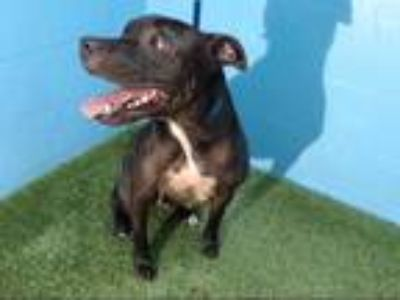 Adopt BUSTER a Black - with White American Pit Bull Terrier / Mixed dog in