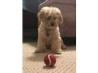 Adopt Rufus - In Foster In Rocky Mount, NC a Yorkshire Terrier, Poodle