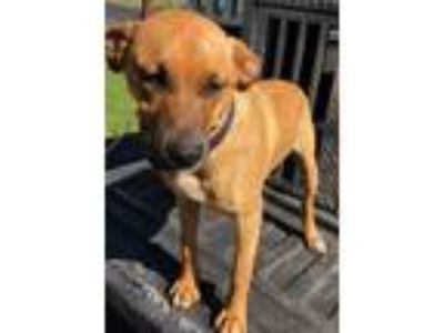Adopt 21119 a Brown/Chocolate - with Black Labrador Retriever / Mixed dog in