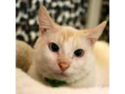 Adopt Roo a Siamese, Domestic Short Hair
