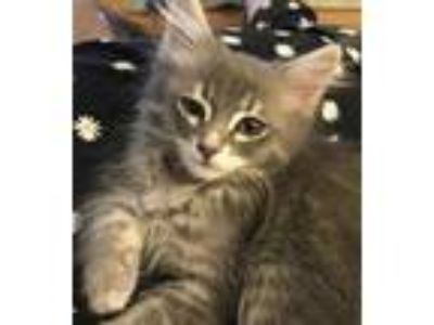 Adopt Grey a Gray or Blue Domestic Mediumhair / Domestic Shorthair / Mixed cat