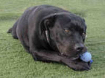 Adopt OLIVE a Black American Pit Bull Terrier / Mixed dog in Baldwin Park