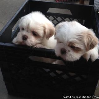 Affectionate Young Shih Tzu puppies