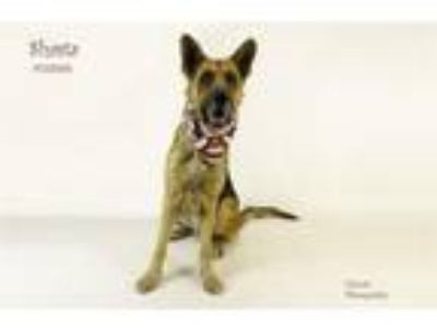 Adopt Dog a German Shepherd Dog