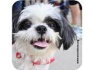 Adopt Bumper a Black Shih Tzu / Mixed dog in Roselle, IL (25529195)