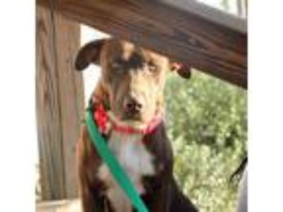 Adopt Coco a Brown/Chocolate - with White Labrador Retriever / Mixed dog in