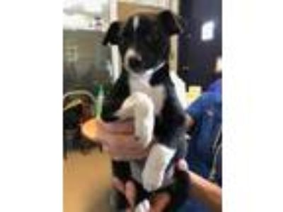 Adopt Sweetpea a Black Jack Russell Terrier / Mixed dog in Cumming