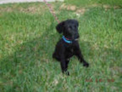 Adopt ZACHARY a Black Labrador Retriever / Mixed dog in Doral, FL (25321404)