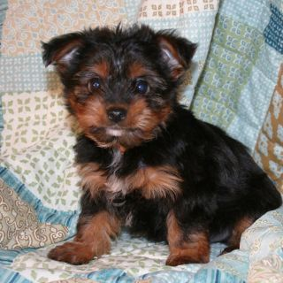 Yorkshire Terrier-Chorkie Mix PUPPY FOR SALE ADN-75573 - Yorkie Mix