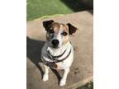 Adopt Sparky a White Jack Russell Terrier / Mixed dog in Raytown, MO (25331116)